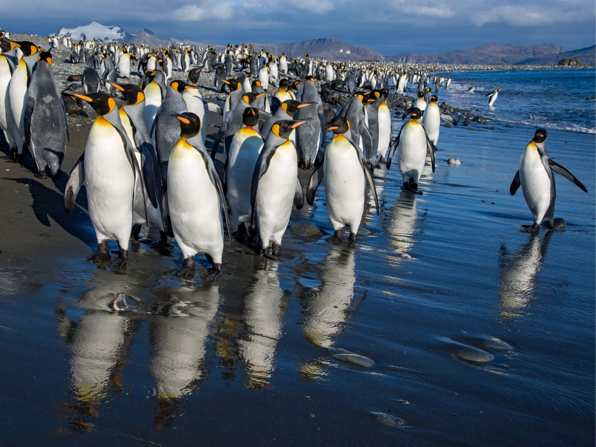 Thousands of King penguins are found on South Georgia Island.