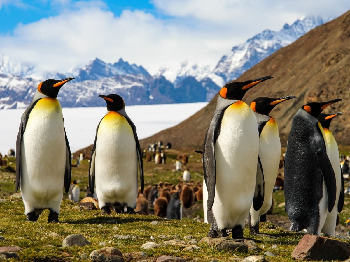 Thousands upon thousands of King penguins can be found on beautiful South Georgia Island.