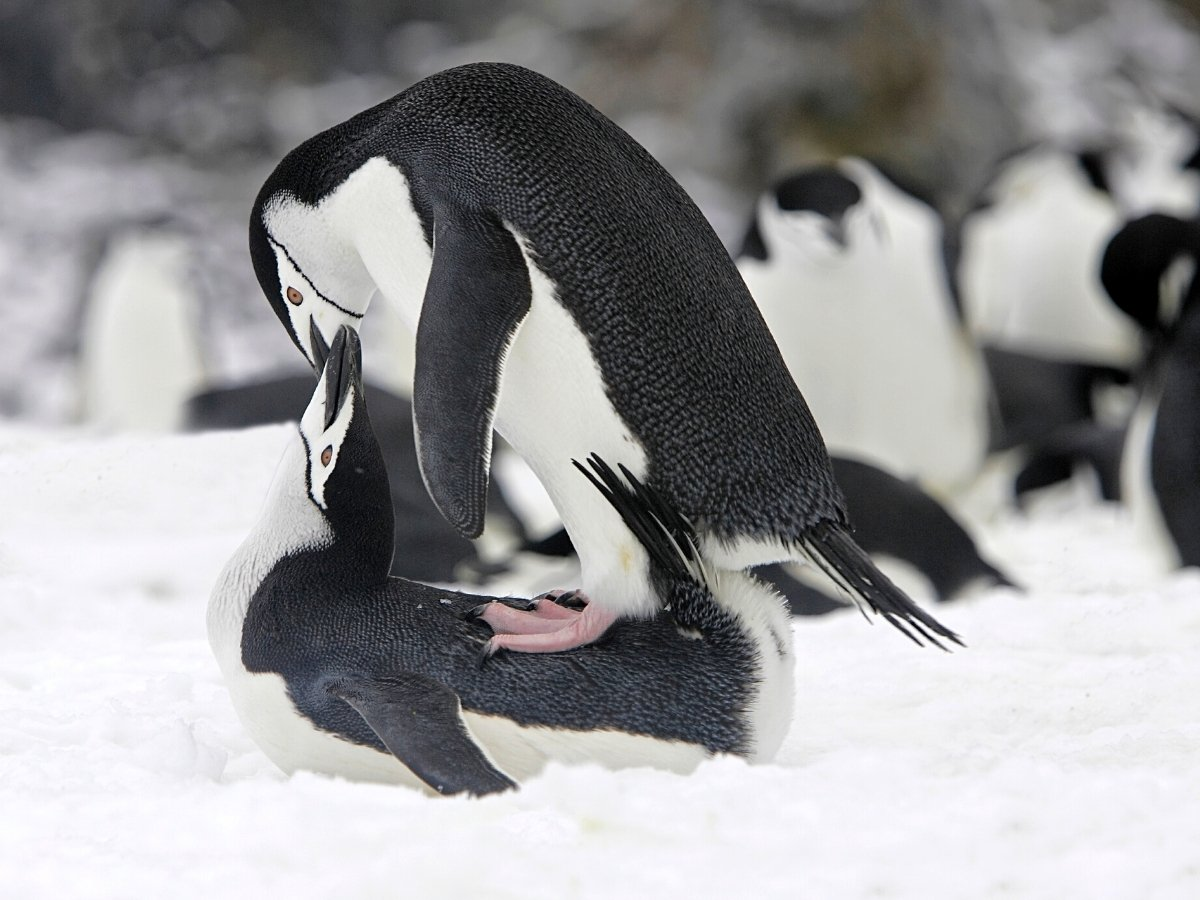 One of our favorite places to visit in Antarctica was Deception Island, where we saw Chinstrap penguins mating.