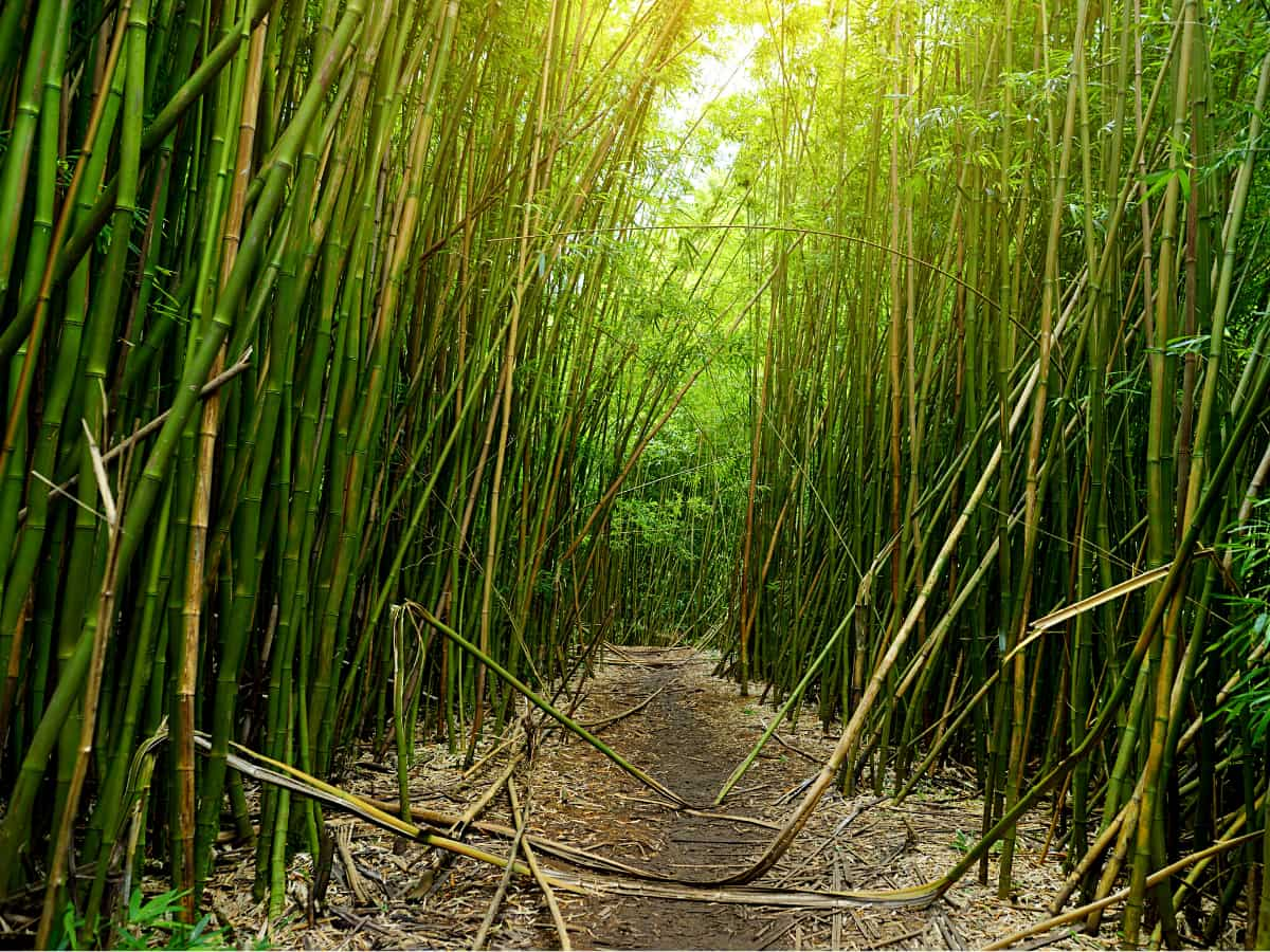 Walking through a soaring bamboo forest is just one of the delights on the trail to Waimoku Falls, Maui.