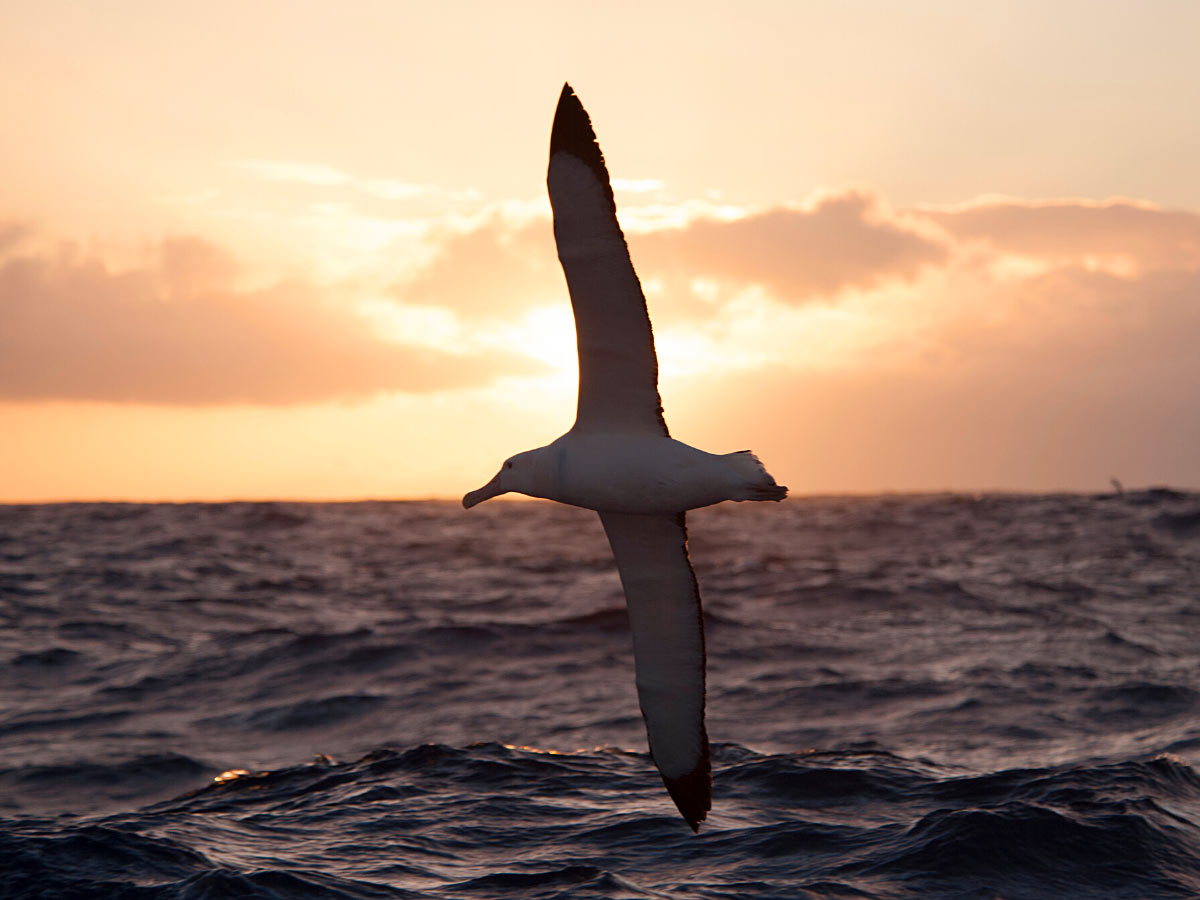 Wandering albatrosses can be seen when cruising the Drake Passage (they have a wingspan of up to 11 feet!)