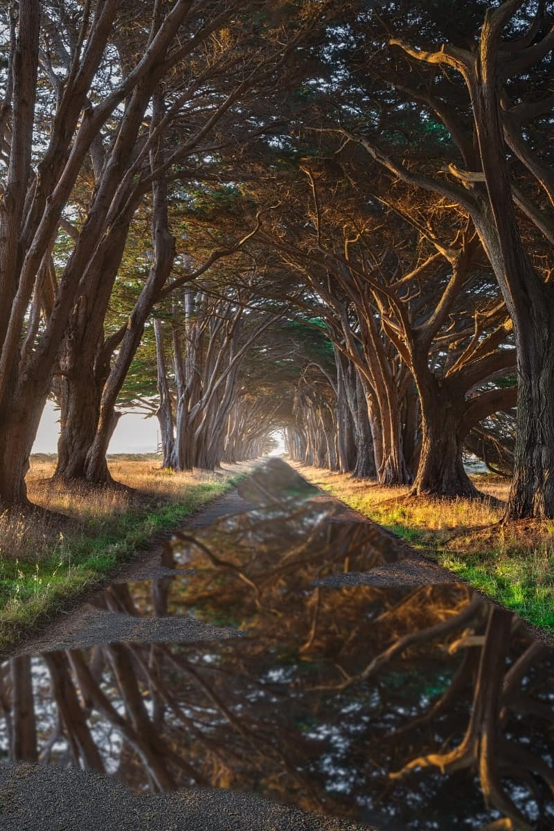 Planted in 1930, giant cypress trees have grown to form a long tree tunnel in Point Reyes.