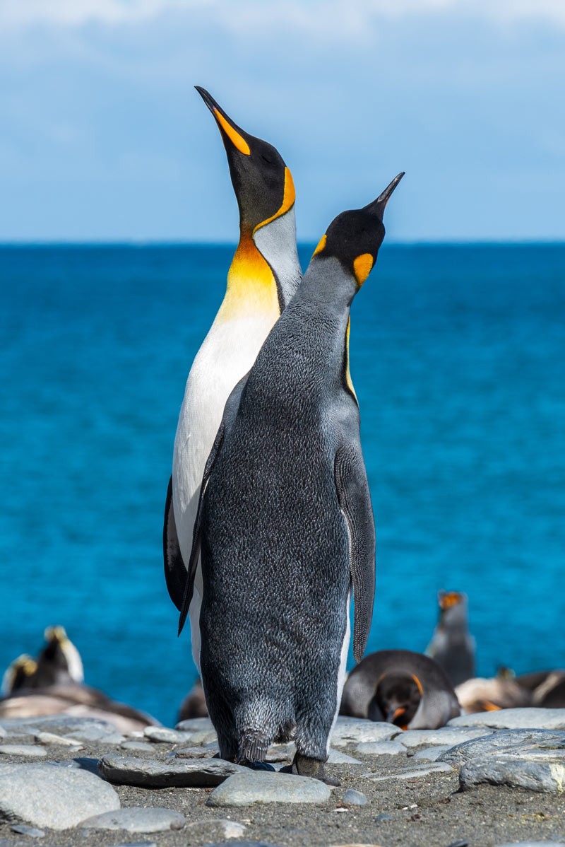 You have to cruise to South Georgia Island to see King penguins.