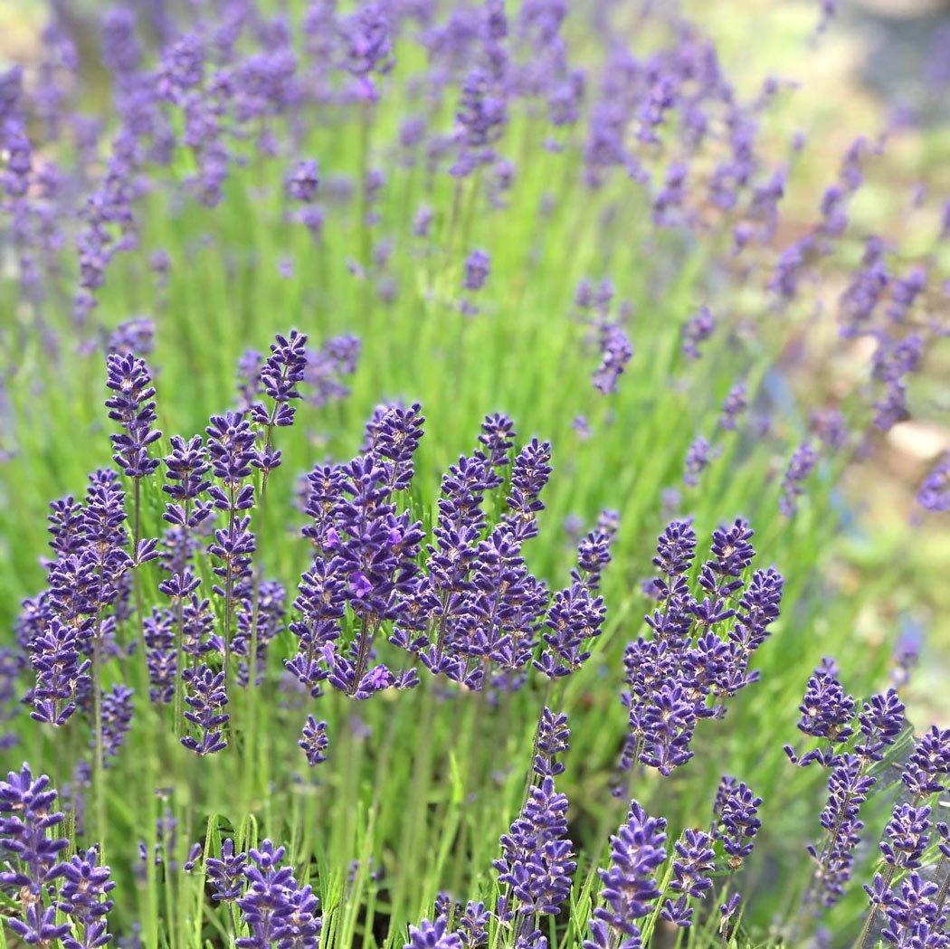 Lavender & Black is a visitor-friendly lavender farm on Salt Spring Island.