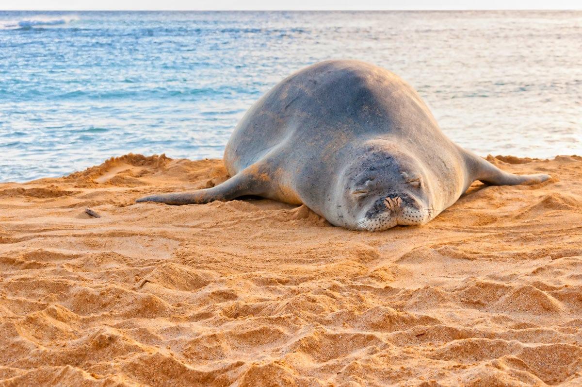 A sleeping monk seal on Poipu Beach, Kauai