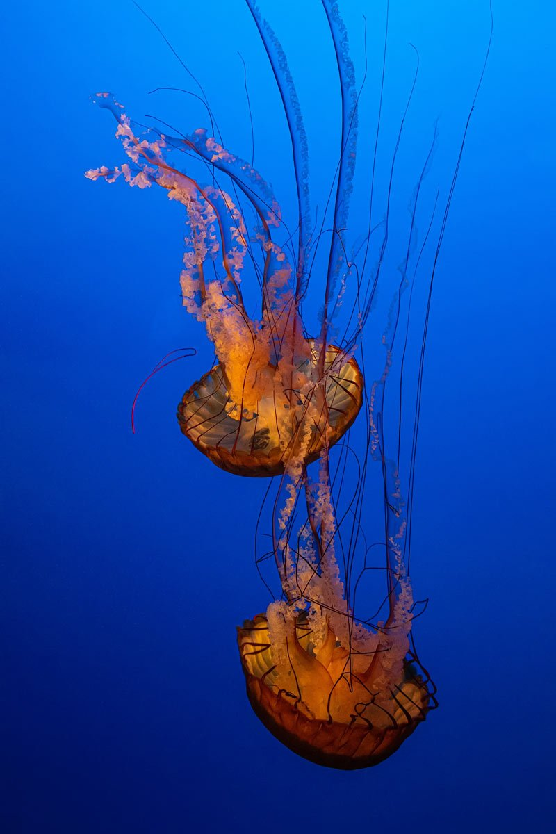 Ethereal-looking jellies show off their beauty at the Monterey Bay Aquarium