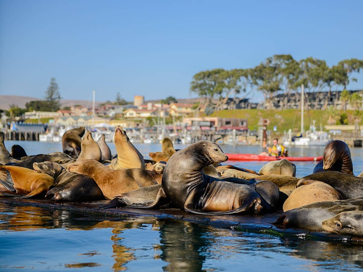 Go kayaking in Morro Bay and chances are you'll see lots of sea lions!