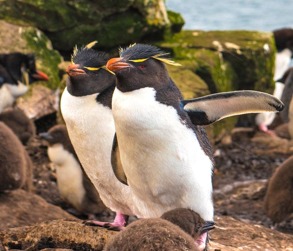 Rockhopper penguins in the Falkland Islands.
