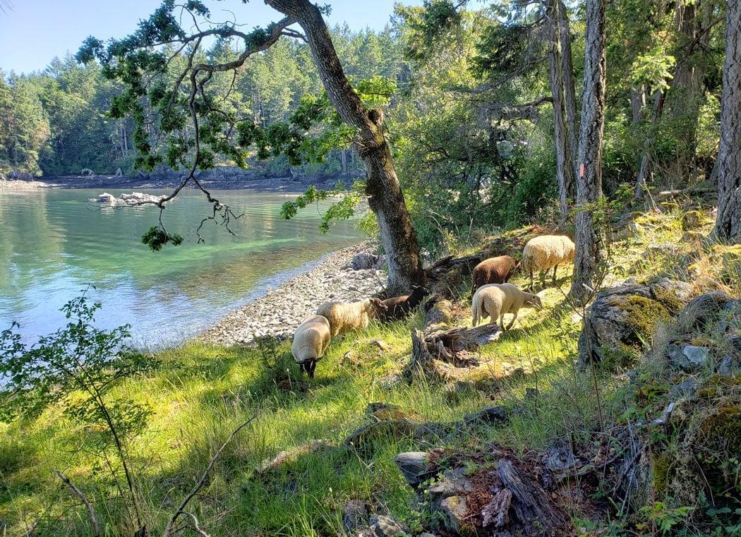 Sheep graze at Ruckle Provincial Park on Salt Spring Island