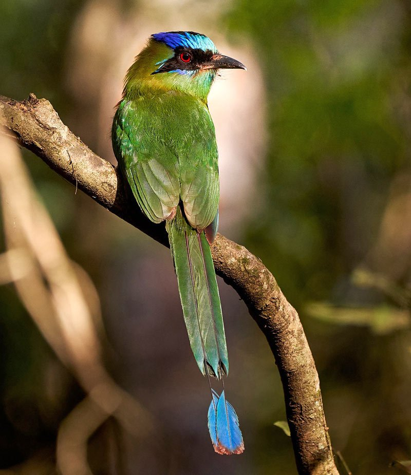 """The Blue-crowned Motmot is dubbed a """"clock bird"""" because it swings its tail like a clock pendulum."""