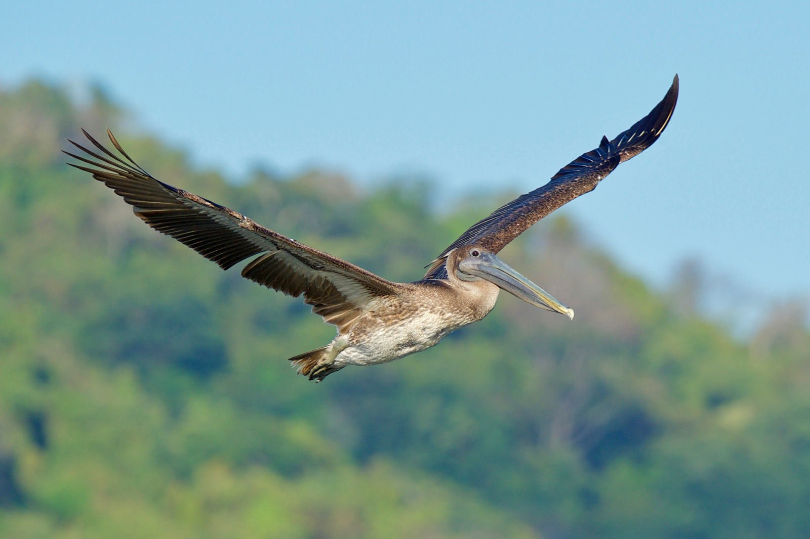 With big stocky bodies, Brown Pelicans are some of the most interesting birds of Costa Rica.