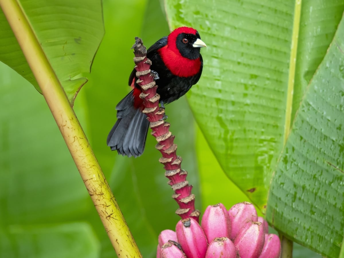 The Crimson-collared Tanager is a small black songbird with a bright red collar.