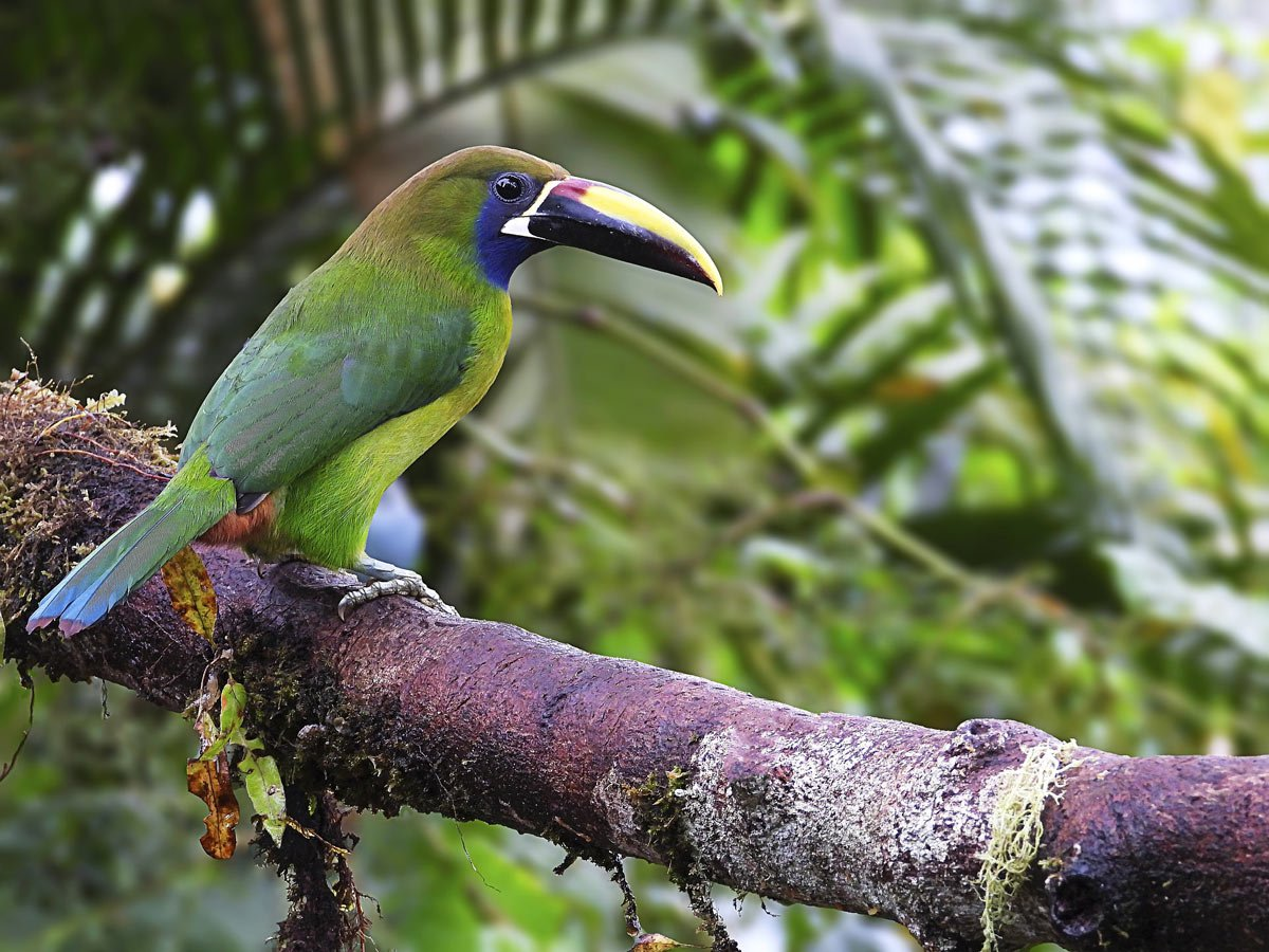 Emerald Toucanets are very active birds, which use their big beaks for eating fruit.