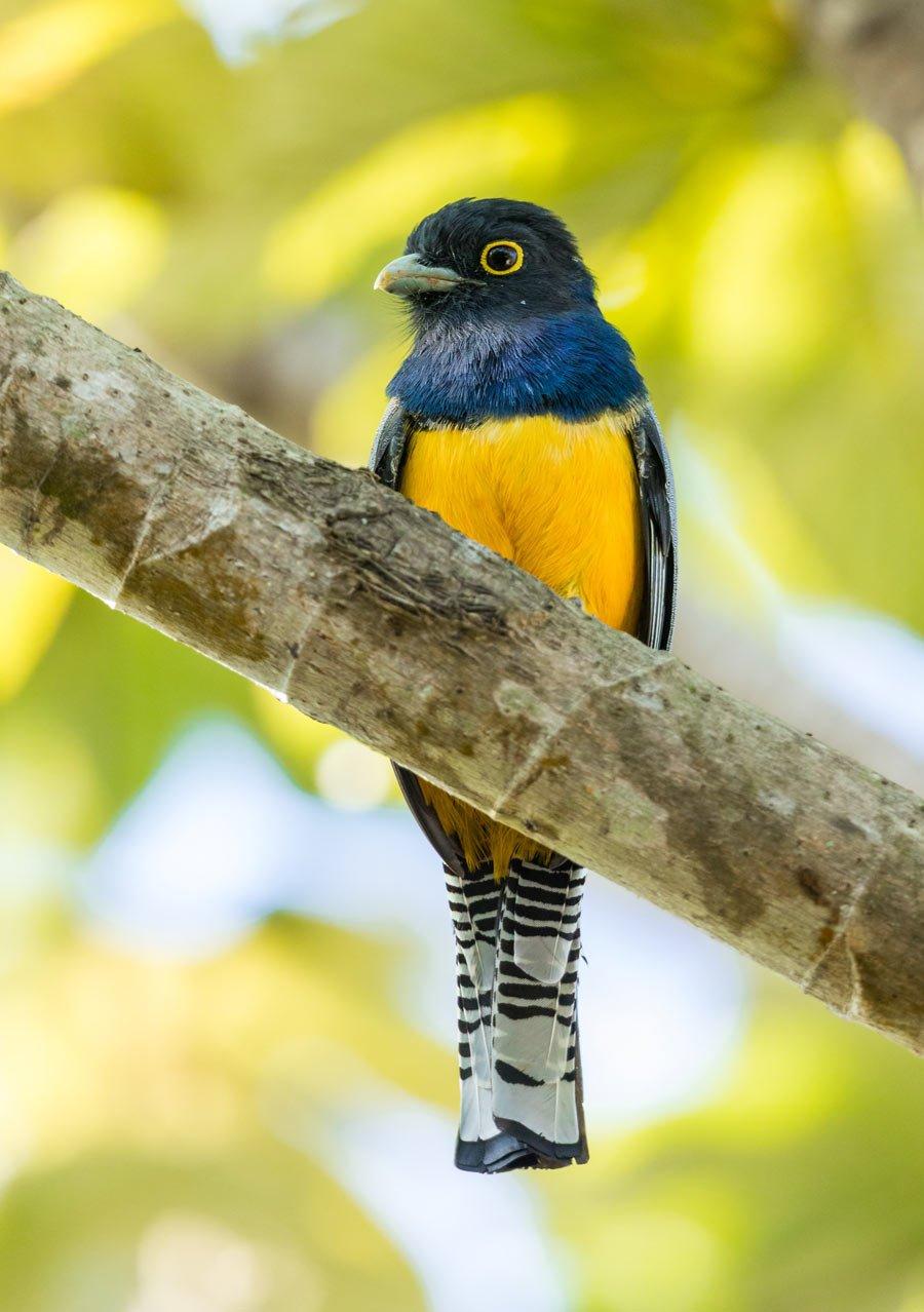 The Gartered Trogon is an eye-catcing little Costa Rican bird.