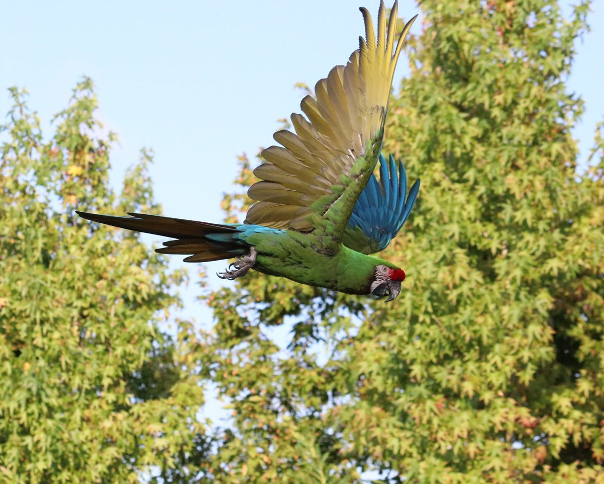 You're not likely to confuse the Great Green Macaw with any other bird - it's so huge!