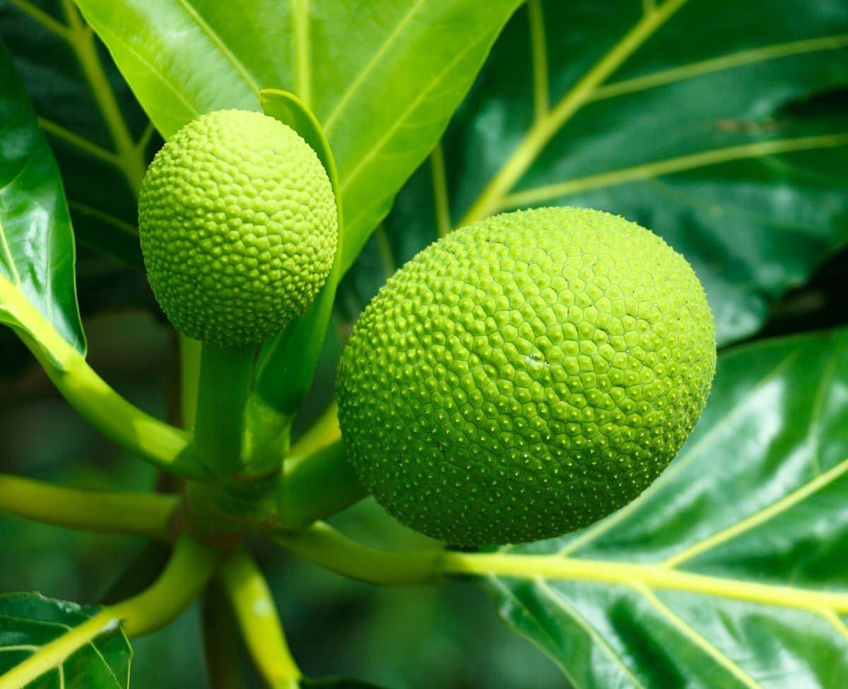 Hawaiian Breadfruit