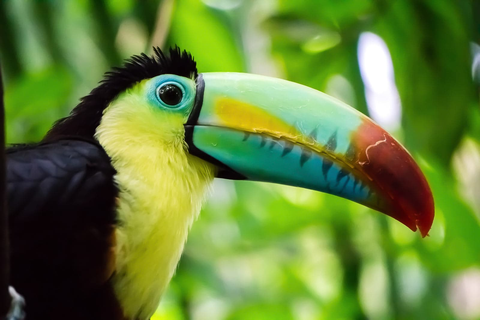 The Keel-Billed Toucan is known for its oversize rainbow-colored beak.