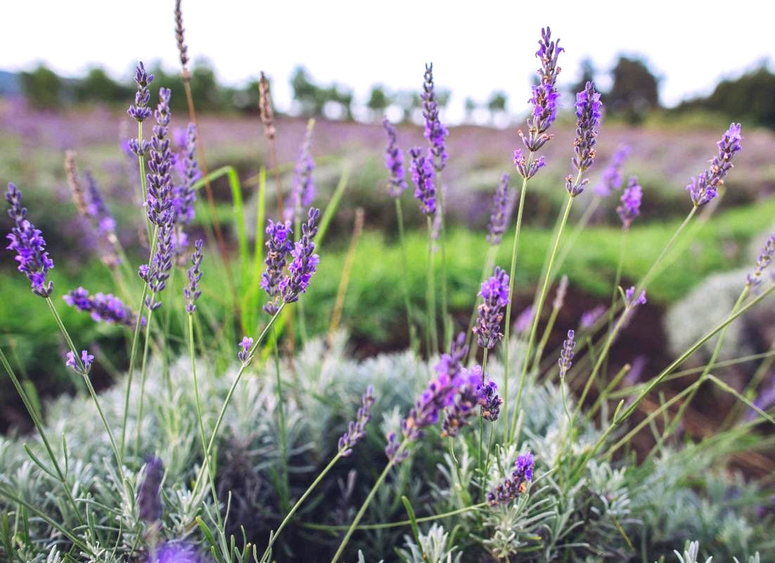 Ali'i Kula Lavender Farm is one of the most romantic places in Maui.