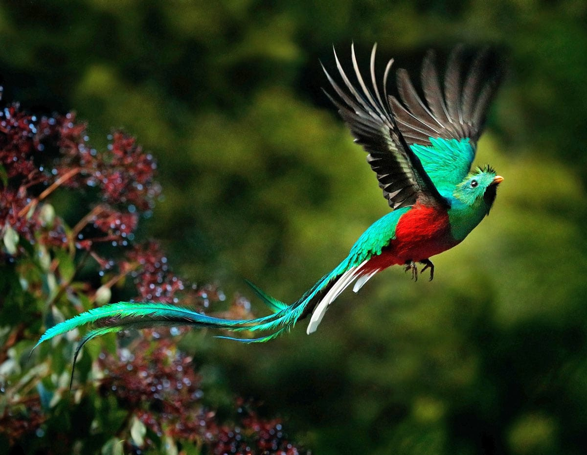 The Resplendent Quetzal is often heralded as the most beautiful Costa Rican bird.
