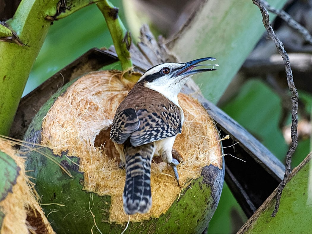 A Rufous-naped wren eating from a coconut in Costa Rica's Carara National Park.