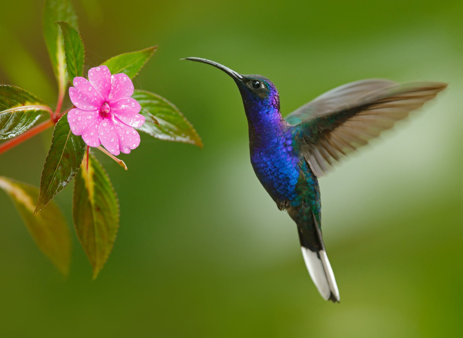 One of the largest hummingbirds in the world, the Violet Sabrewing loves heliconia and banana flowers.