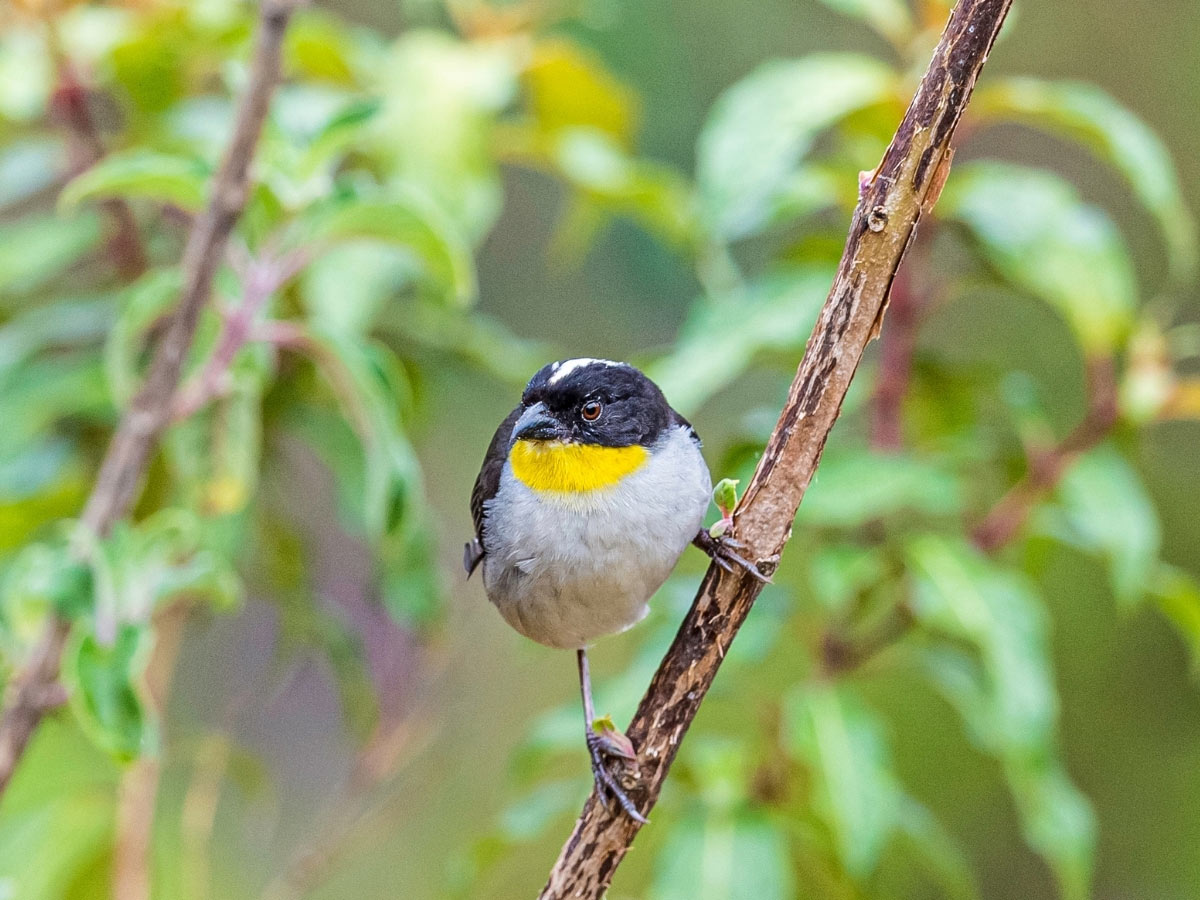 Looking a little like a handsome sparrow, the White-naped Brush Finch has a white stripe down the top of its head.