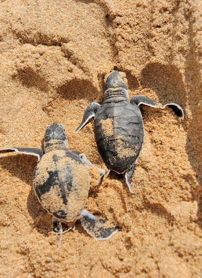 How cute is this! Baby turtles try to make their way to the sea.