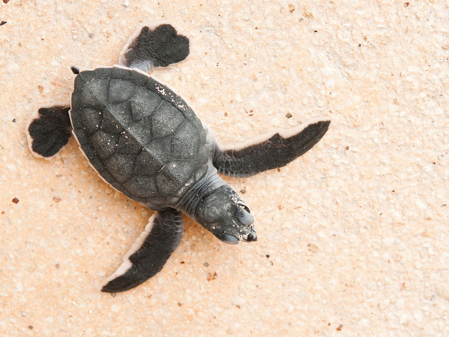 A baby sea turtle makes its way back to the sea.