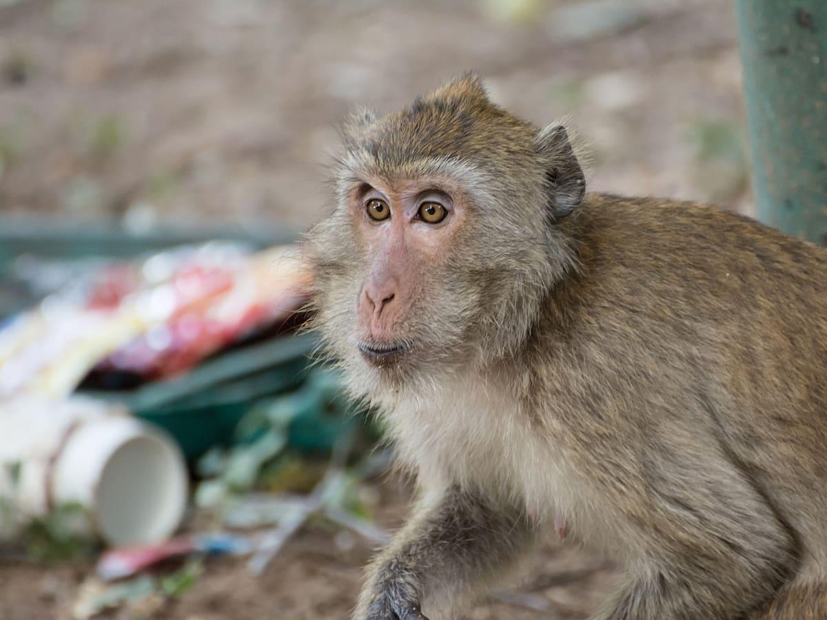 A monkey rifles through garbage.